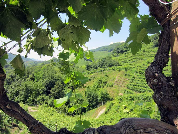 Bacio-della-Luna-vineyard-686