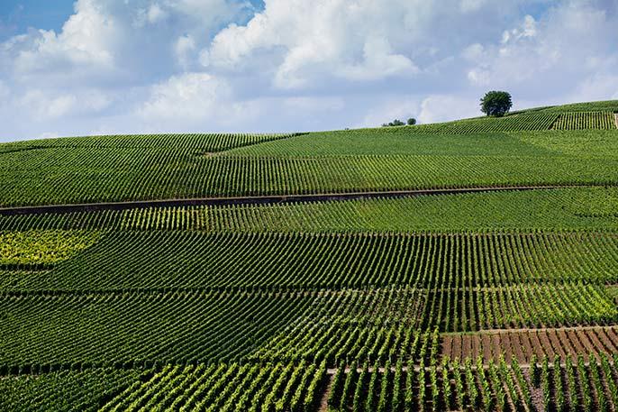 Champagne-vineyard-686