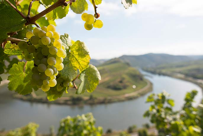 Riesling-Mosel-686