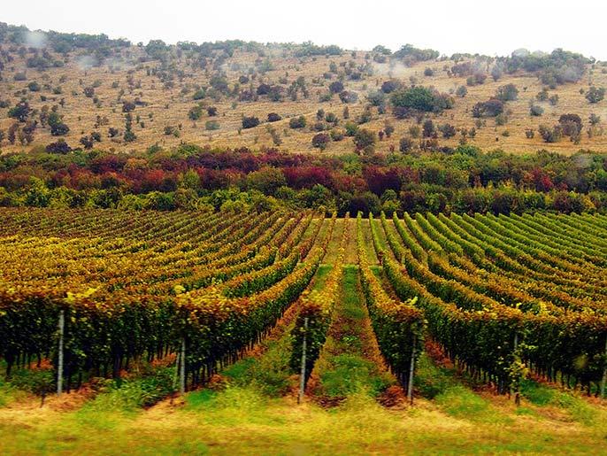 Ungern-vineyard-686
