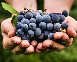 Sköna blå druvor