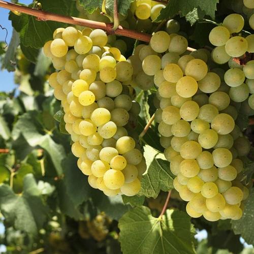 Lär dig mer om Chardonnay