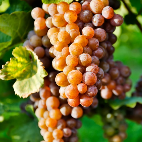 Lär dig mer om Pinot Gris