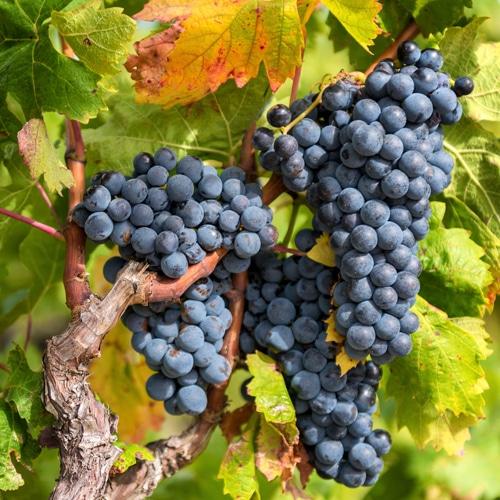 Lär dig mer om Pinot Noir