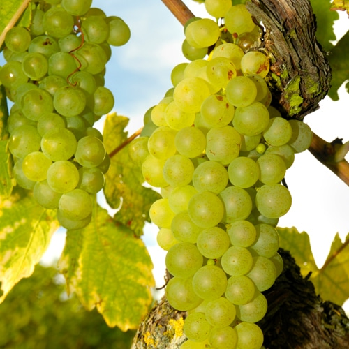 Lär dig mer om Sauvignon Blanc
