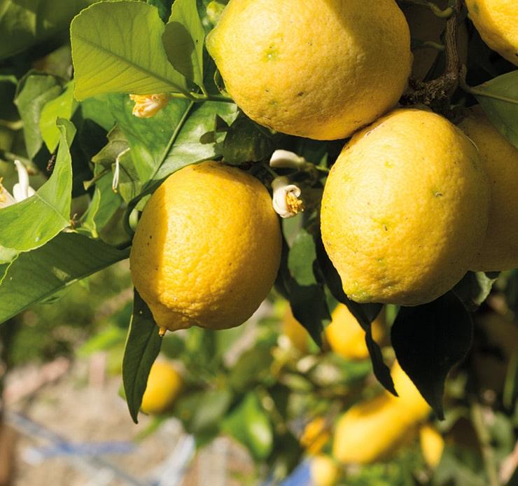 Kan ett vin smaka citron?