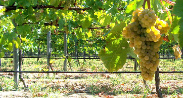 Mångfald druvor ger distrikt kultstatus