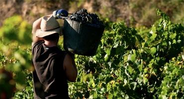 Vinproduktionen minskar dramatiskt
