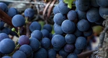 Här tillverkas världens bästa vin