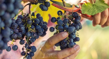 Vitt vin på blå druvor – hur funkar det?