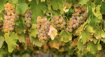 Fem saker du måste veta om Chardonnay
