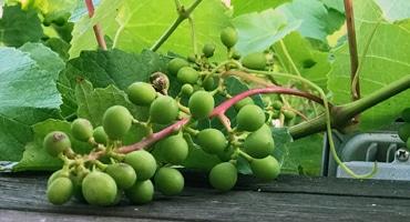 Favorit i Bordeaux mest odlade druvsort
