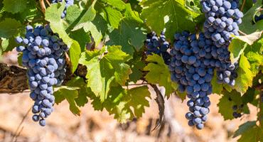 Sydafrika välkomnar med unika viner