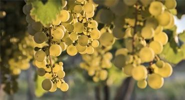 Den mångsidiga druvan Chardonnay